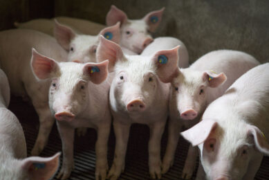 ASF is highly contagious and infection spreads rapidly through a unit. Increasing biosecurity on farm can prevent viruses from entering. Photo: Shutterstock