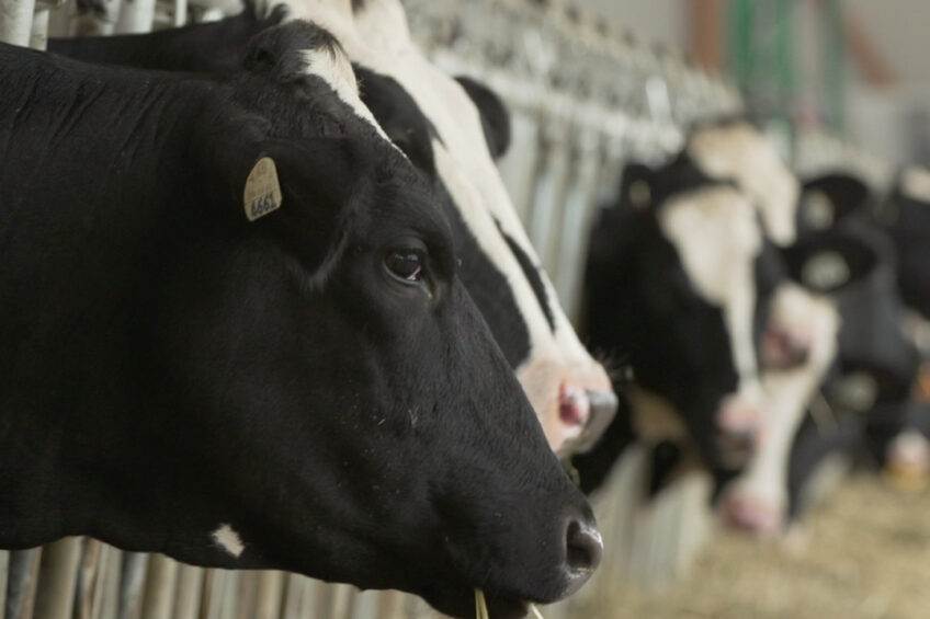Benefits of vitamin B for dairy cows. Photo: Jefo