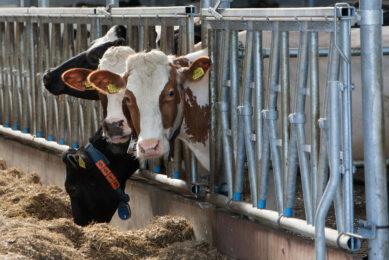 3 underutilised feed ingredients for ruminants. Photo: Ronald Hissink