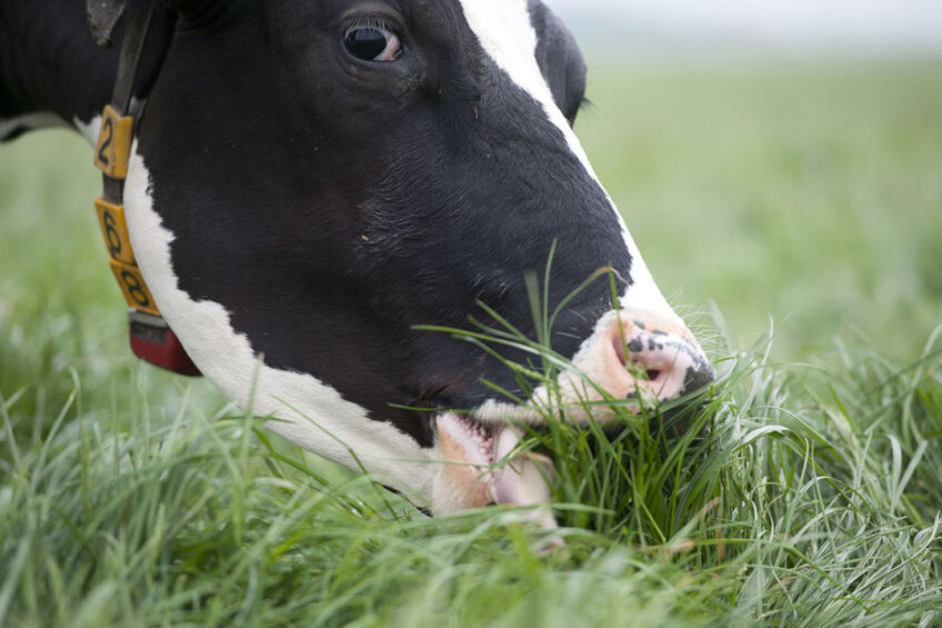 How to deal with low grass yields for dairy cows