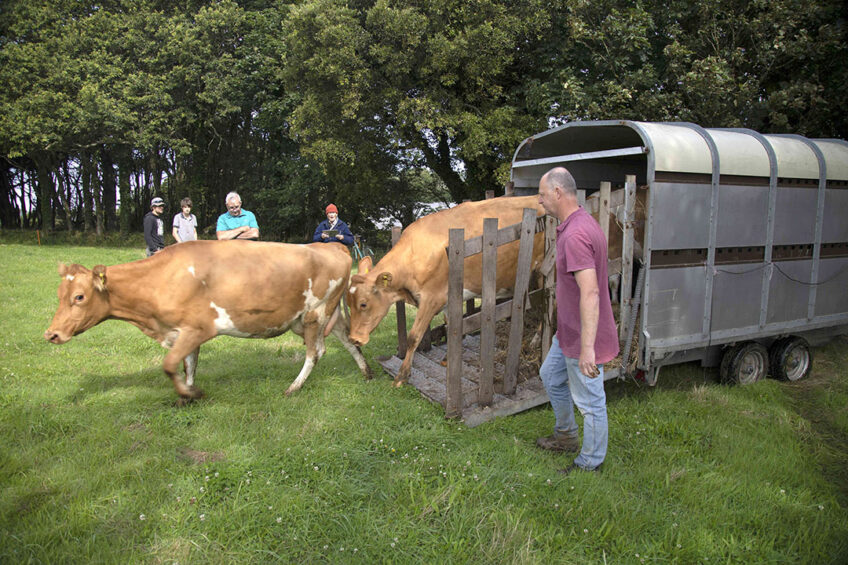 Jason Salisbury unloads the Guernsey cows into the fields at the new dairy on Sark Island. Photo: Sue Daly