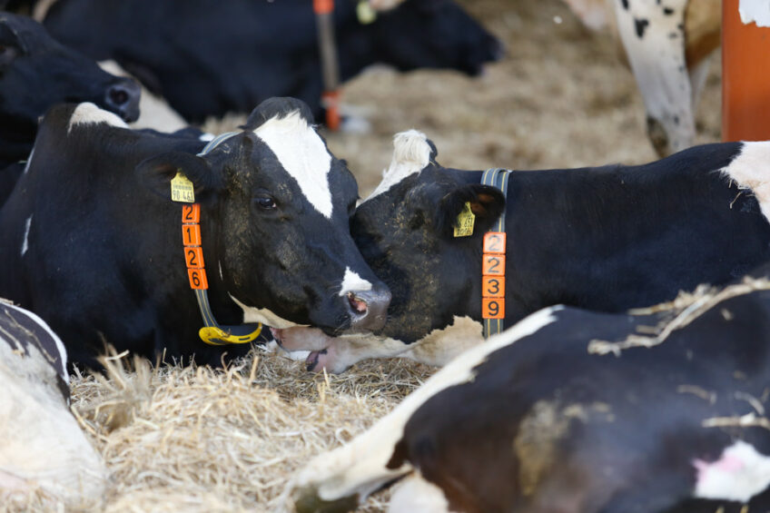 Heifers: Group or not to group? Photo: Nedap