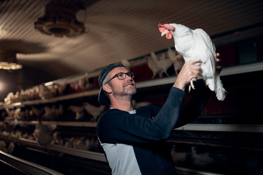 Reducing the incidence and impact of diseases such as Coccidiosis is decisive to meet animal welfare standards and avoid economical and sustainability disruptions. Photo: Morten Larsen