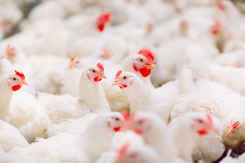 A wide portfolio of options are available to help producers shift towards antibiotic free poultry production. Photo: Novus