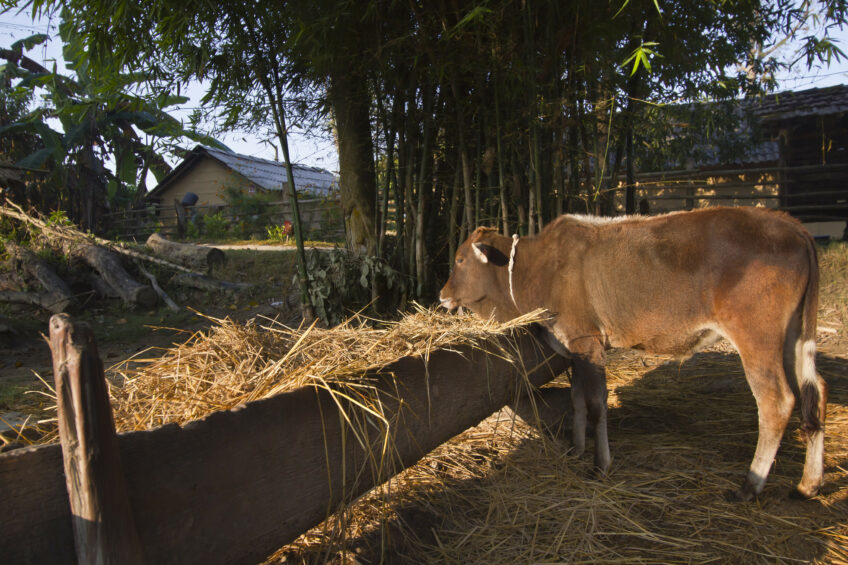 Around half of the number of dairy farms in Nepal are really small and have around 5 to 10 animals per farm. Photo: Dreamstime