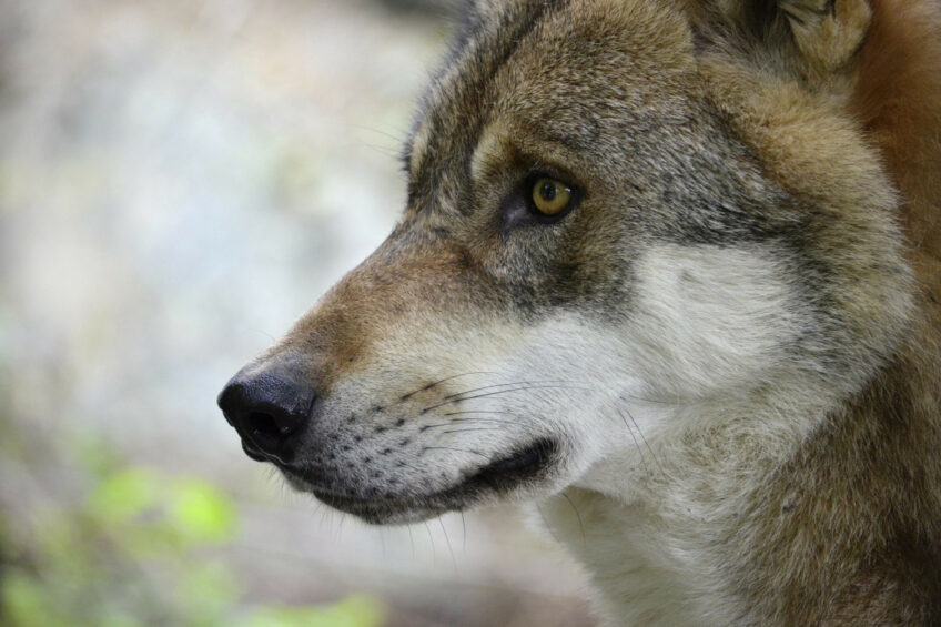 Farmers worry about dingoes and wolves