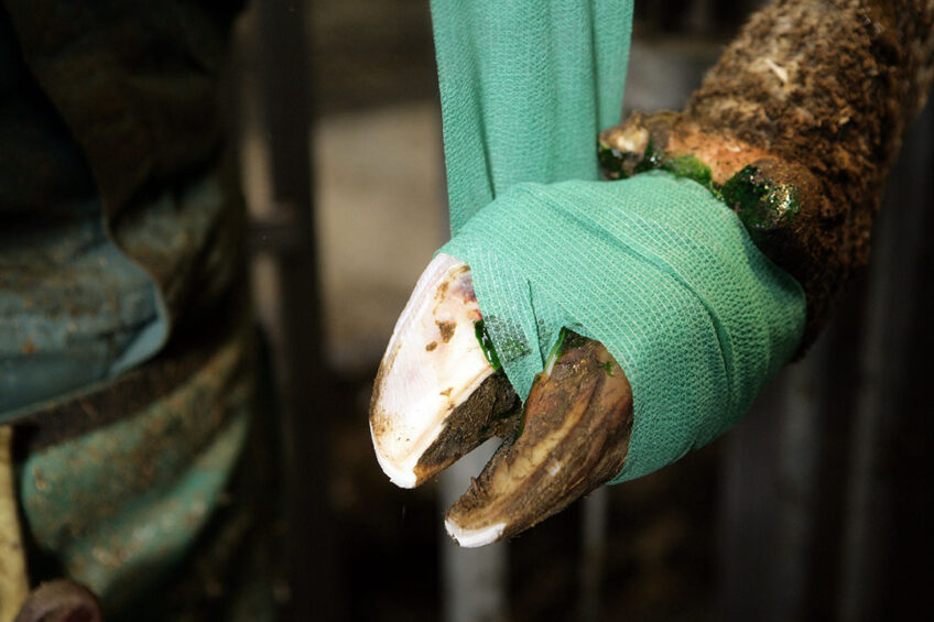 Hoof trimming twice a year is a good prevention strategy to combat serious hoof problems. Photo: Henk Riswick