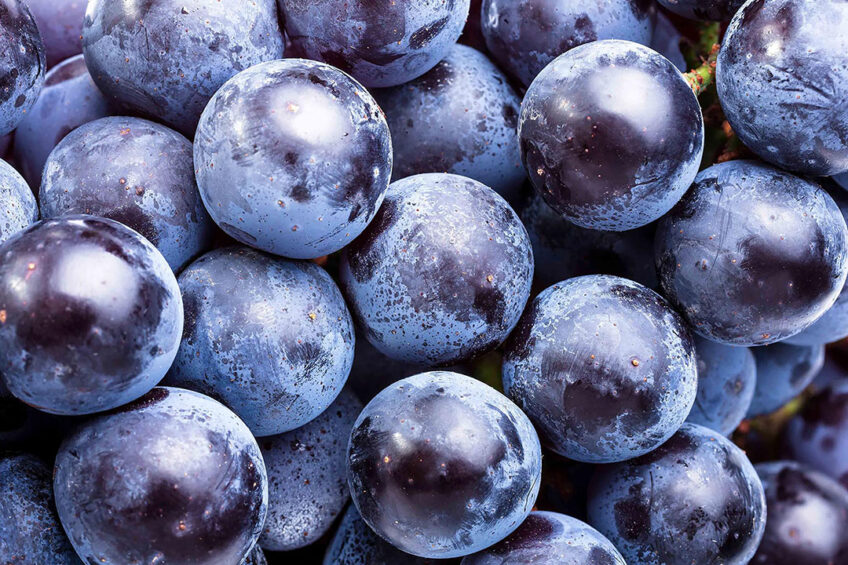 Polyphenols from grape extracts can help in tackling heat stress in livestock. Photo:istock