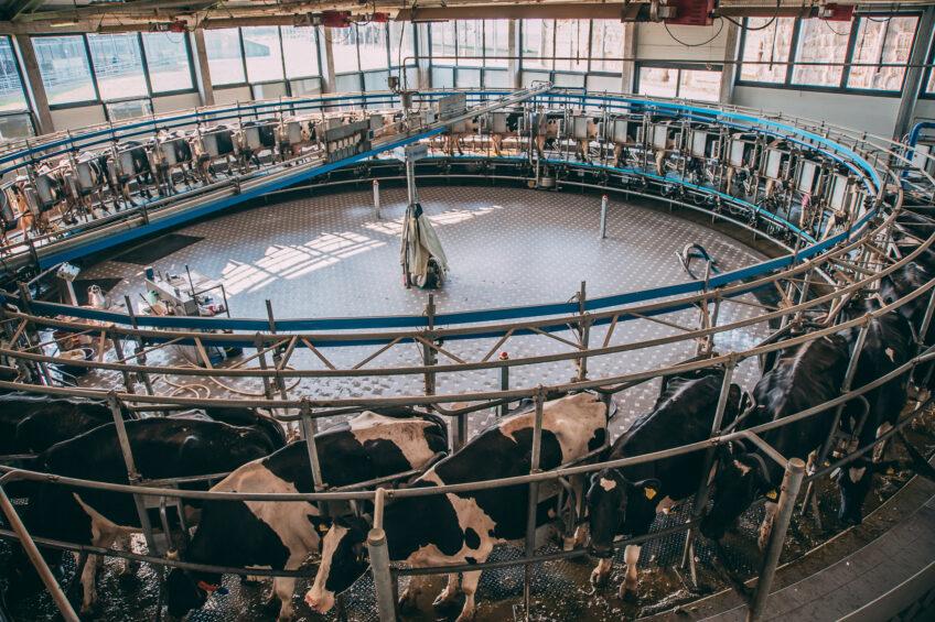 Milking 5,500 cows in Croatia. Photo: Chris McCullough