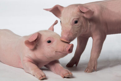Thanks to secured piglet feed, optimal growth performances in post-weaning are reachable without antibiotic or zinc oxide use. Photo: Fred Mouraud