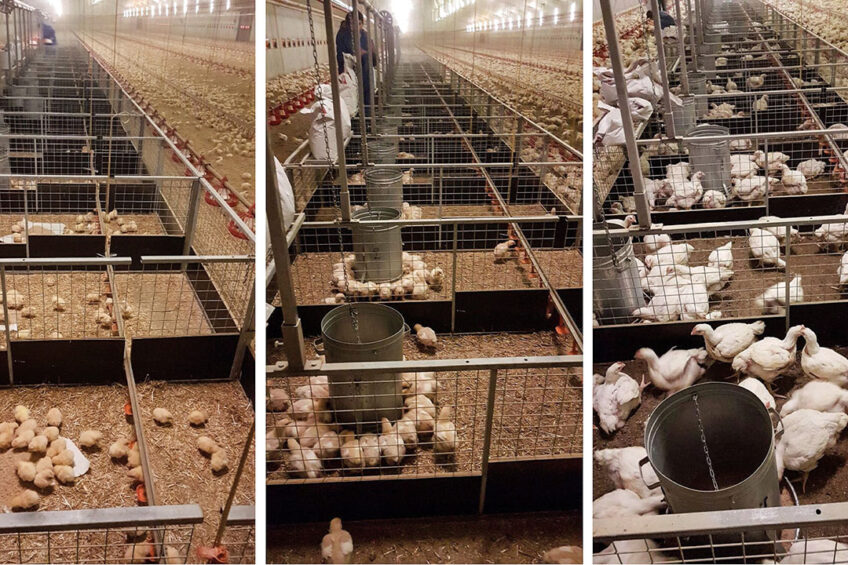 Broilers at different stages of growth. Photo: Innovad