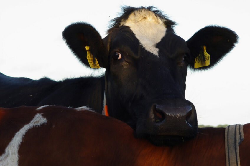Cow management made simple with one bolus. Photo: Dreamstime