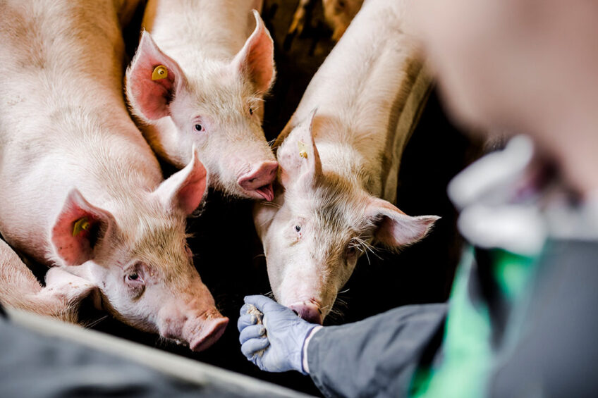 When piglets are well protected during weaning, this guarantees growth in the subsequent growing/finisher phases. Photo: Delacon