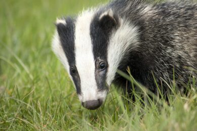 UK farmers encouraged to kill badgers for a bounty. Photo: PXhere
