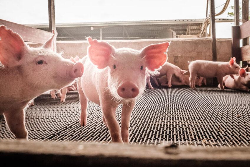 Heat stress in pigs   effect on the gut. Photo: Phytobiotics