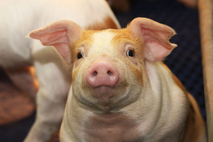 Reducing the use of antibiotics in pork production is an important goal to address the issue of antibiotic resistant pathogens. Photo: Henk Riswick