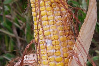 Corn harvested in Iowa, US in 2018. Photo: Radka Borutova