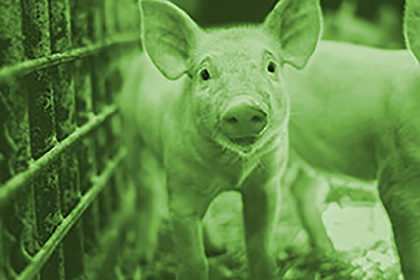 Stress might have various impact on the behaviour of young piglets: it can increase the occurrence of damaging behaviours between pen mates. Photo: Nuqo