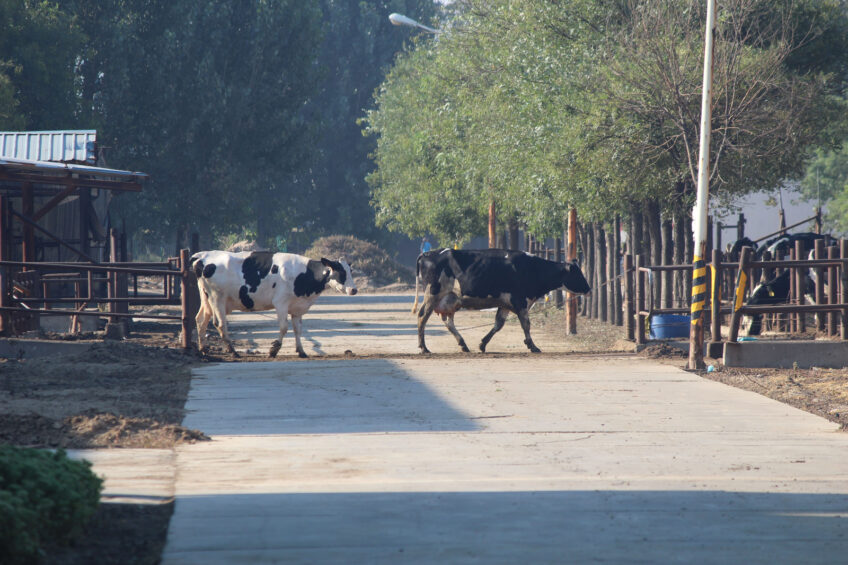 The cows are walked into the milking parlour on rotation and further housed in the open barns. <em>Photo: Vincent ter Beek</em>