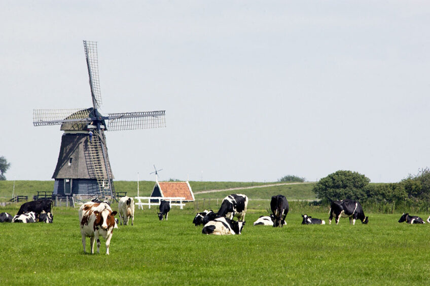 Cows in the Netherlands. Photo: Wick Natzijl