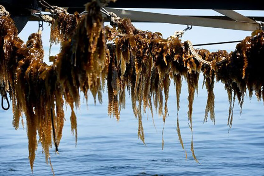 Wet harvested seaweed has a very short shelf life. Therefore, it must be used rather quickly. Photo: Catrinus van der Veen