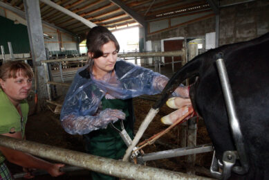 Photo report: Delivering a calf in Russia