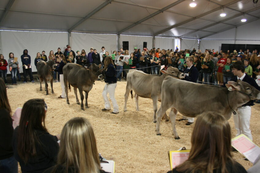 Cows give junior judges a hard time