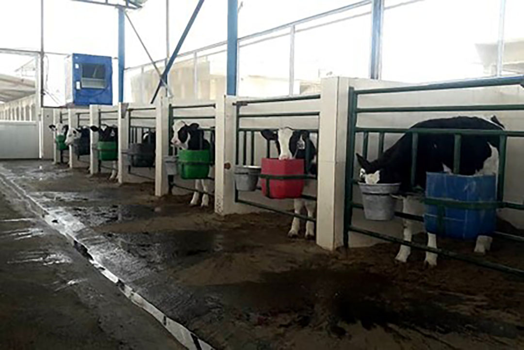 Fermented soybean meal improves growth performance and starter intake of Holstein calves. Photo Rasoul Kowsar