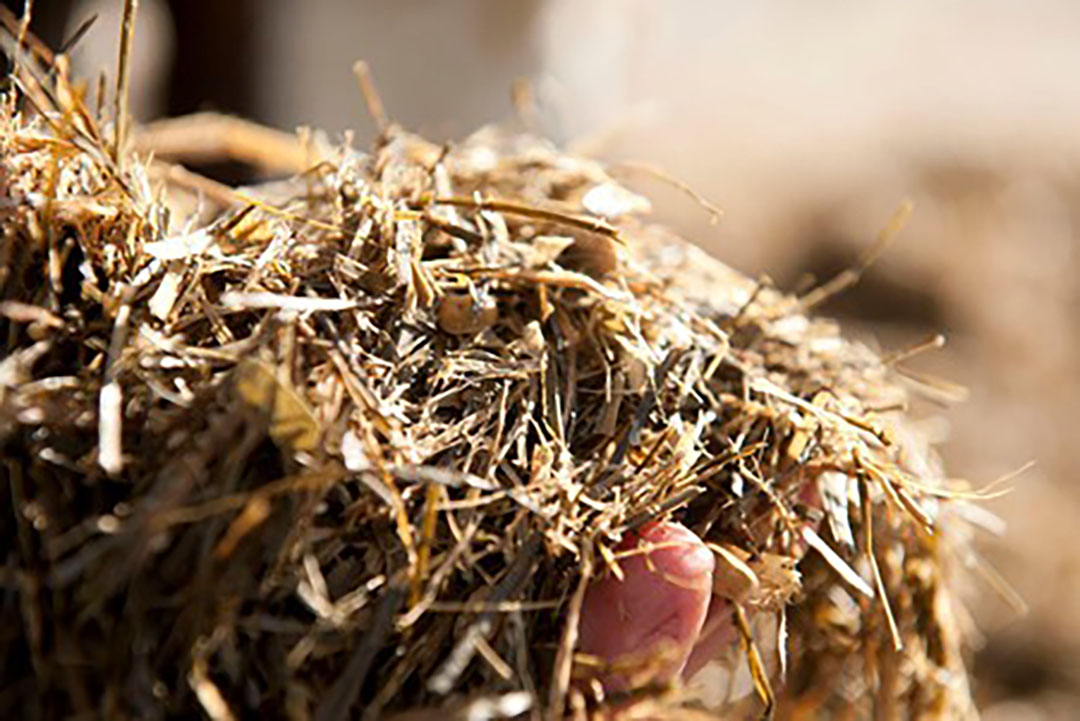 Chopped oat hay improves rumen fermentation and growth performance. Photo: Mark Pasveer