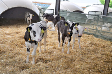 Pneumonia is the most common cause of death and poor performance in dairy cattle under one year of age with 14.5% of dairy heifers failing to reach their first lactation due to the disease. Photo: Chris McCullough
